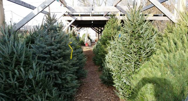 Ready for lights, tinsel, ornaments and garland, Christmas trees await purchase at Simoncelli Farms in Sout Abington Twp.