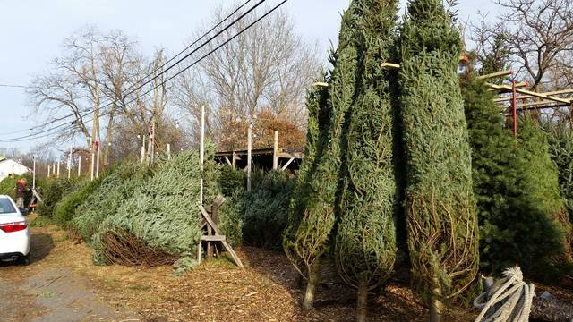 A room with a high ceiling needs a tall Christmas tree, and the owner of Simoncelli Farms always cuts a few trees that stand from 16- to 18-feet high. The trees cost more than shorter, younger trees, with some priced at $100.